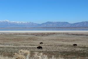 Antelope Island Buffalo